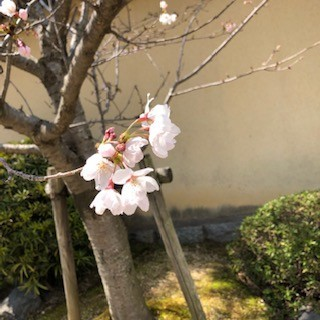 剛桜近影.jpg