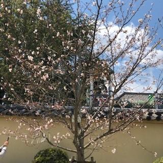 剛桜俯瞰.jpg